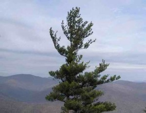 The Court of the Lone White Pine